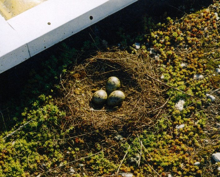 A small bird's nest with three eggs nestled on some mosses and grasses on a roof.