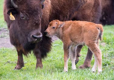 In a newer photograph, a baby bison nuzzles its mother.