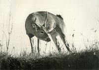 Image of a Young Buck