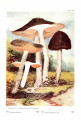 Pluteus cervinus, in McIlvaine, C. & Macadam, R. K. (1912). Toadstools, mushrooms, Fungi, edible and poisonous: And one thousand American fungi.